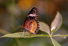 Male Leapord Lacewing Butterfly stock photos