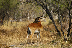 Male Lechwe Royalty Free Stock Photography