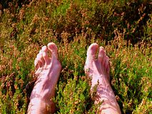 Male legs on dry heather bush. Tired legs on rocky peak bove landscape. Pure pink skin, clear nails. Heather twigs with gentle pink violet blossoms Royalty Free Stock Image