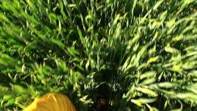 Male legs with waterproof yellow trousers walk crop field POV stock video footage
