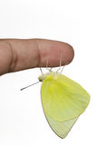 Male Lemon emigrant butterfly Stock Photography