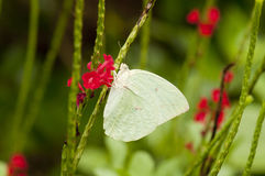 Male Lemon Emigrant & x28;form-hilaria& x29; butterfly Royalty Free Stock Image