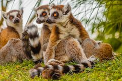 A male lemur hugs his female. While from a distance another lemur looks Stock Photos
