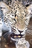 While male leopard 1 Stock Photo