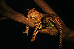 Male leopard Stock Image