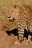 Male leopard. Big male leopard (Panthera pardus), Namibia, southern Africa Royalty Free Stock Image