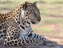 Male leopard Fotografering för Bildbyråer