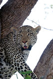 Male leopard Stock Photo