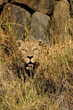 Male leopard. (Panthera pardus) hiding among tall grass, Namibia, southern Africa Royalty Free Stock Image