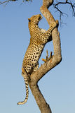 Male Leopard climbing a tree, South Africa. Male Leopard (Panthera pardus) climbing a tree in South Africa Royalty Free Stock Image