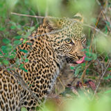 Male leopard cub. On a kill Royalty Free Stock Photos