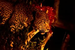 Male Leopard with fresh kill South Africa at night. Male Leopard with fresh kill at night photographed in Inyati Sabi Sands area South Africa Stock Photos