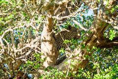 Male Leopard hiding in a tree Royalty Free Stock Image