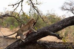 Male leopard hoisting his bushbuck kill into a tree stock photography