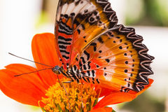 Male leopard lacewing butterfly Royalty Free Stock Photo