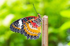 Male leopard lacewing butterfly. Close up of male leopard lacewing (Cethosia cyane euanthes) butterfly in nature Royalty Free Stock Photo