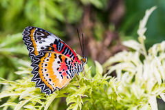 Male leopard lacewing butterfly. Close up of male leopard lacewing (Cethosia cyane euanthes) butterfly perching on green leaves Stock Images