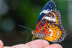 Male leopard lacewing butterfly. Close up of male leopard lacewing (Cethosia cyane euanthes) butterfly perching on human finger Royalty Free Stock Photos