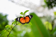Male Leopard Lacewing (Cethosia cyane) Stock Photography