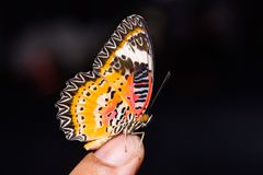 Male Leopard Lacewing Cethosia cyane euanthes butterfly. Close up of male Leopard Lacewing Cethosia cyane euanthes butterfly perching on human finger Stock Photo