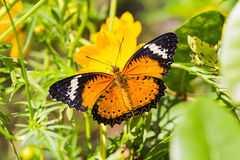 Leopard lacewing butterfly. Male leopard lacewing (Cethosia cyane euanthes) butterfly feeding on cosmos flower Stock Photography