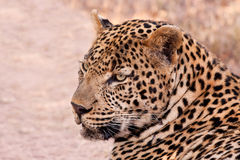 Male leopard lying in the shade Stock Photos