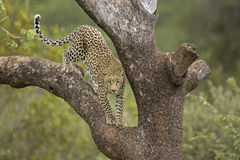 Male Leopard (Panthera pardus) South Africa. African Leopard climbing down tree in South Africa royalty free stock photography