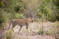 Male leopard on the prowl Stock Photos