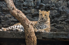 Male leopard resting in his confinement at an Indian zoo. royalty free stock photo