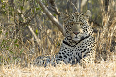 Male Leopard resting, South Africa royalty free stock image