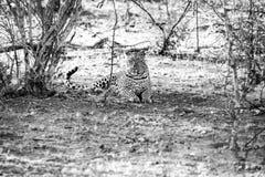Male leopard sat under a tree Stock Photo