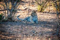 Male leopard sat under a tree Stock Image