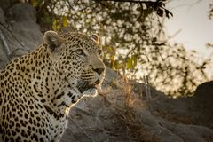 Staring Leopard. Male leopard sitting on an ant hill staring into the veld with setting sun in the background Royalty Free Stock Image