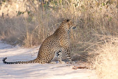Male leopard sitting in a dirt road Royalty Free Stock Photography
