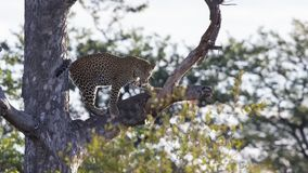 Male leopard standing high in a Maroela tree to look for prey Royalty Free Stock Photo