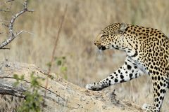 Male Leopard stepping on dead tree trunk. stock photos
