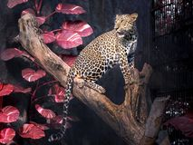 Male leopard on a tree branch. Male leopard on a tree branch in the natural environment of the zoo Royalty Free Stock Photos