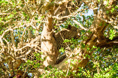 Male Leopard in a tree Stock Photos