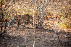 Male leopard walking through the bush Royalty Free Stock Photography