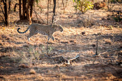 Male leopard walking through the bush Stock Images