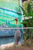 Male lesser adjutant stork Stock Image