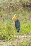 Male  Lesser Adjutant stork Stock Images