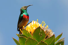 Male lesser double collared sunbird. On protea flower.sunbirds are small beautiful birds like hummingbirds in central america Stock Photography
