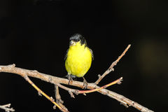 Male Lesser Goldfinch (Spinus psaltria) Royalty Free Stock Image