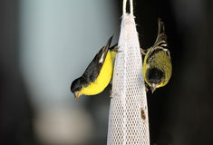 Male Lesser Goldfinches (Spinus psaltria) Royalty Free Stock Images