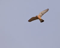 Male Lesser Kestrel Royalty Free Stock Images