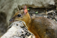 Male Lesser Mouse-deer Stock Photography