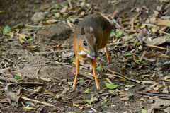 Male Lesser Mouse-deer Royalty Free Stock Photo