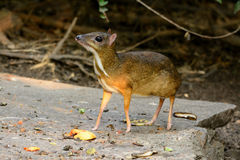 Male Lesser Mouse-deer. Beautiful male Lesser Mouse-deer or Lesser Oriental Chevrotain (Tragulus javanicus) in Thai forest Royalty Free Stock Photos