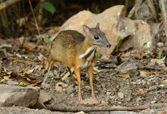 Male Lesser Mouse-deer. Beautiful male Lesser Mouse-deer or Lesser Oriental Chevrotain (Tragulus javanicus) in Thai forest Stock Photos